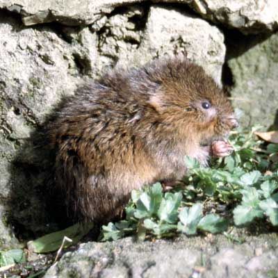 Water vole © Isle of Wight Council
