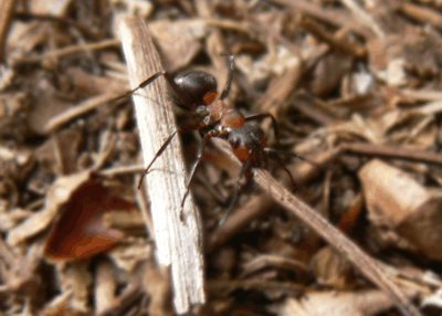 A wood ant carries a pine needle (c) Cat James