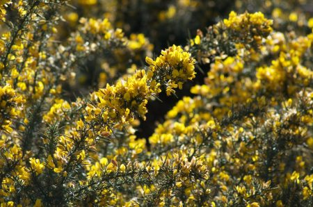 Q&A「ニュージーランドの野山を覆う黄色い花の名前はなに?」