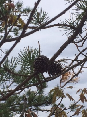Little pine cones, still attached to the tree, found at the top of the rock face