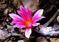 Tamaplius rock cactus