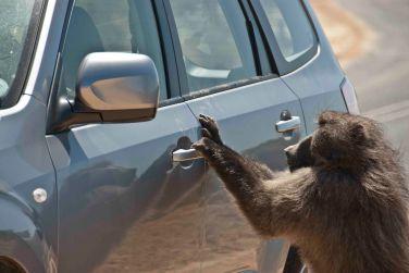 Fred honed his car raiding habit.
