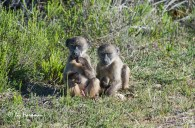 Baboons_grass roots_3195