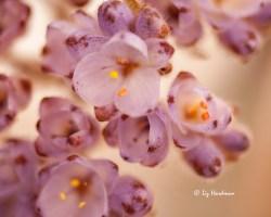 Dilatris pillansii - Rooiwortel