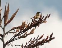 Female sugarbird