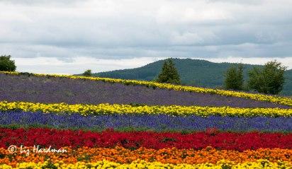 Furano-flower-fields