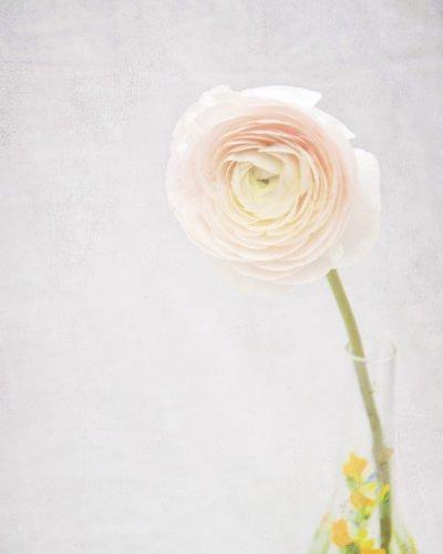 photo pale pink ranunculus flower in vase
