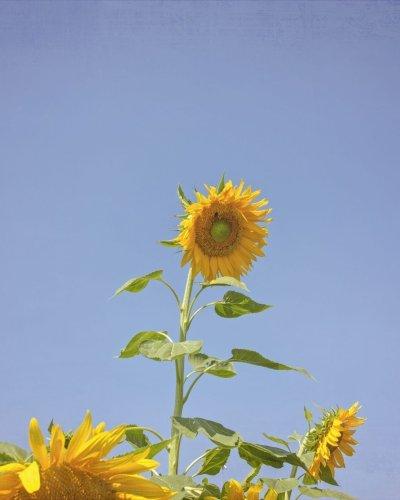 tall sunflower with blue sky