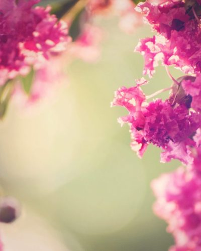 pink ring of crepe myrtle flowers