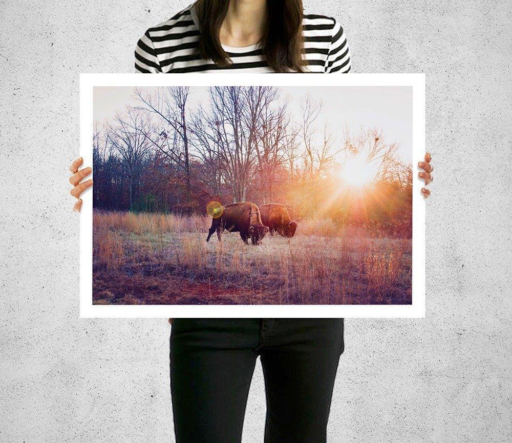 nature photography prints white border print American bison grazing