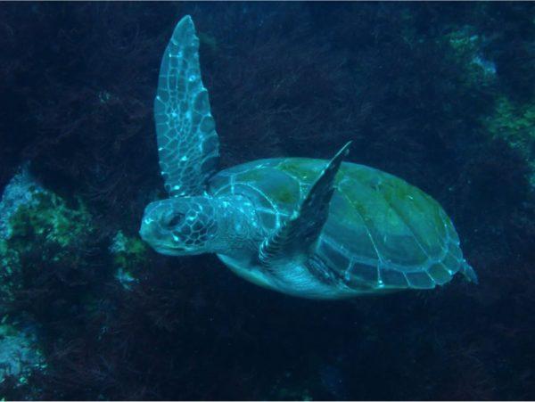 かなりの確率で海亀に会えます!