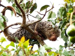 The Coendou porcupines, also known as prehensile-tailed porcupines are nocturnal, herbivorous, solitary rodents native to Central and South America.