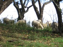 "Finishing Lambs - Combination of Good Pasture and ""Fresh"" Apples"