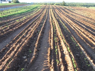 Late Planting of Corn