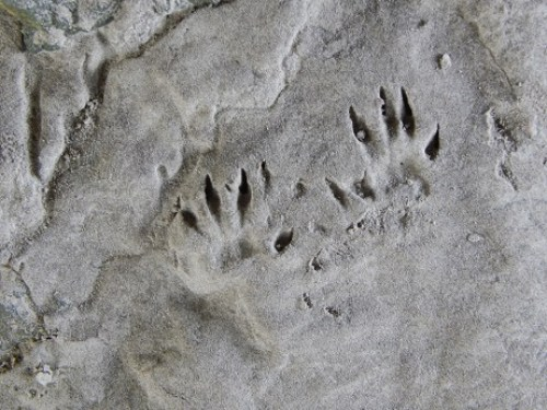 Rodent track