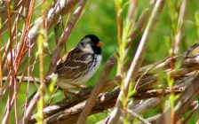 Harris's Sparrow. This northern visitor typically winters in the midwest, but a few visit Colorado each winter. Photo: Pinello Ranch, courtesy of Gloria Nikolai.