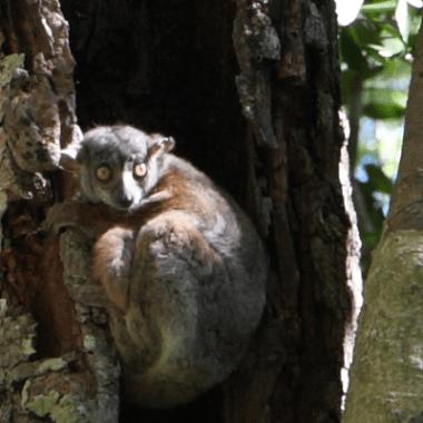 Andrianasolo Sportive Lemur