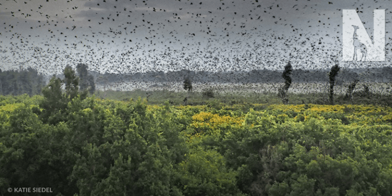 Zambia Bat Migration
