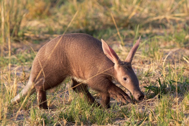 Aardvark (2).jpg