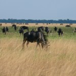 Common Wildebeest