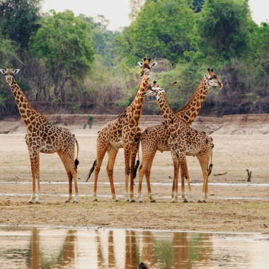 Thornicroft Giraffes in South Luangwa