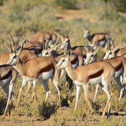Springbok-herd