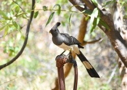 White-bellied-Go-away-bird