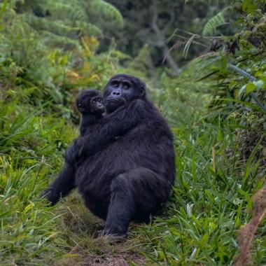 uganda gorilla wildlife