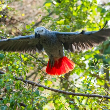 Grey-Parrot-at-Kabwoya