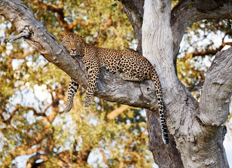 Leopard-in-a-tree
