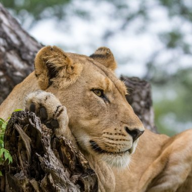 Lion-in-South-Luangwa,-Zambia