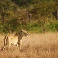 Lion-in-the-Bushveld