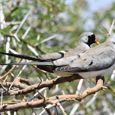 Namaqua-Dove-in-Tarangire