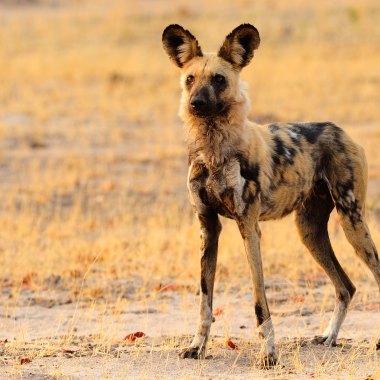 African-Wild-Dog-in-Hwange