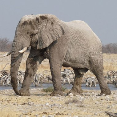 Etosha---Elephant