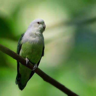 Grey-headed-Lovebird