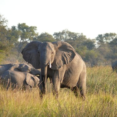 African-Elephants-along-the-Kwando