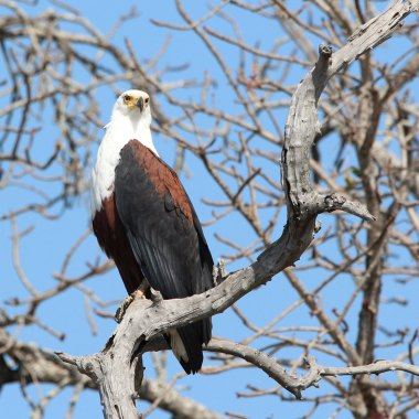 African-Fish-Eagle-along-the-Zambezi