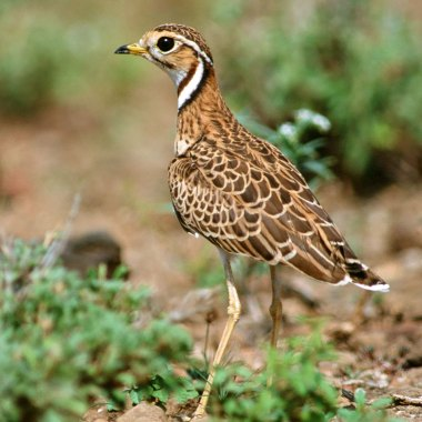 Three-banded-Courser-in-Hwange