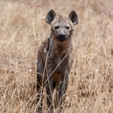 Spotted-Hyaena-in-Mana-Pools