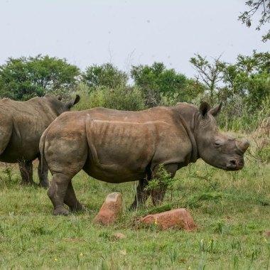 White-Rhinoceros-in-Hwange