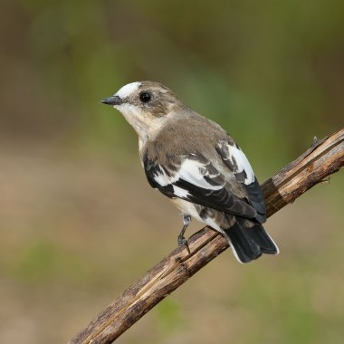 Collared-Flycatcher-at-Christon-Bank