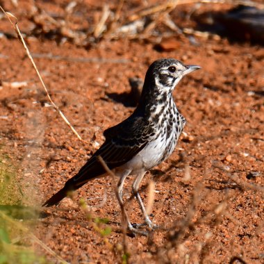 Zambia Birding