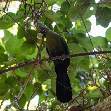 Schalow's-Turaco-in-the-Caprivi