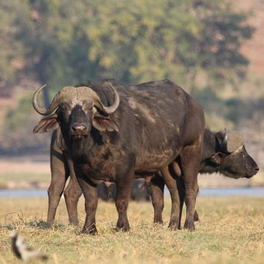 African-Buffalo-from-a-river-cruise