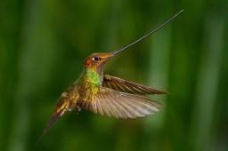 Sword billed Hummingbird