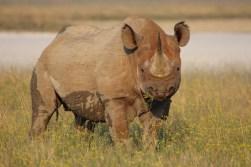 Etosha -Rhino