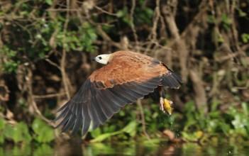 Black-collared Hawk (A Foster)
