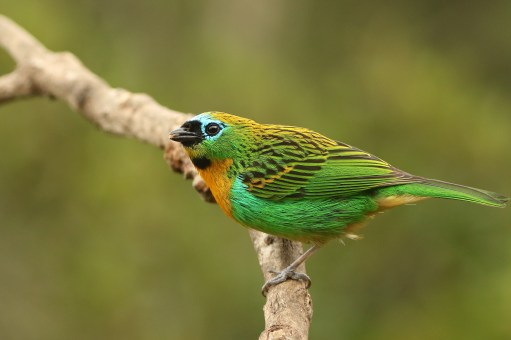 Brassy-breasted Tanager (A Foster)