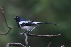 Magpie Tanager (A Foster)